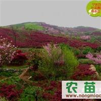 供应红枫 樱花 桂花 五针松