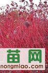 当年 绿化小苗 红瑞木  小叶丁香 三角枫 白榆  四季锦带
