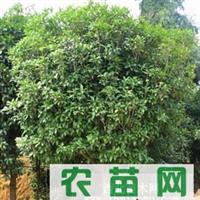 11-13公分四季桂