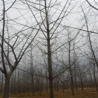常年低价供应银杏苗木