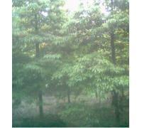 大叶楠木、金丝楠木