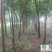 供应山西国槐各种规格的国槐大树