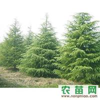 南京雪松、广玉兰、马褂木、香樟