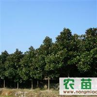供应:广玉兰、香樟、红叶李