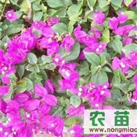 成都三角梅专供 量大从优  各种绿化苗木工程用苗