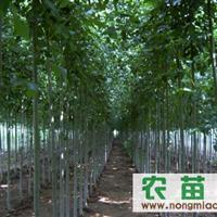 供应法桐国槐合欢白蜡等绿化苗木