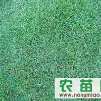 供应各种优质绿化草坪百慕大草坪