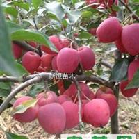 供应山东 矮化苹果苗