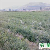 供应50-60cm文冠果苗木