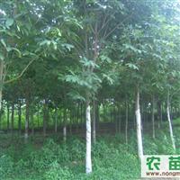出售4-15公分七叶树