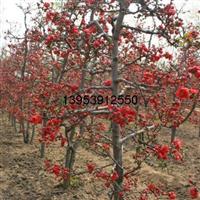 供应甜茶苗、木瓜海棠、红宝石海棠、北美海棠、冬红海棠