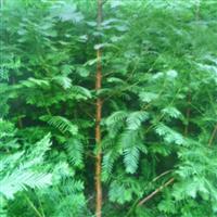 供应利川水杉树苗水杉种子水杉小苗