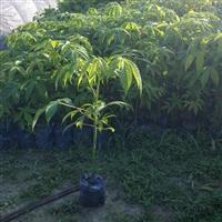 美丽木棉,红花荷,小叶榄仁,蓝花楹