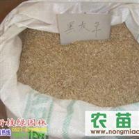 厂价直销进口草籽 黑麦草种子 黑麦草种子价格 量大优惠