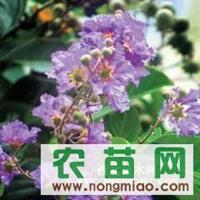 特价出售大量广玉兰 紫薇 栾树