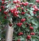 供应山楂树,山桃树,梨树,信息平台西北苗木网