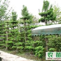 供应工程绿化苗木罗汉松、银杏、金弹子、紫薇及其树桩盆景