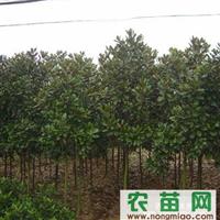 安徽肥西卉丰苗圃急售4―8公分广玉兰苗