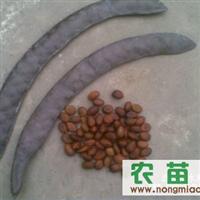 皂角种子,紫薇种子紫荆种子巨紫荆种子火棘种子