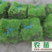 马尼拉草皮,马尼拉草皮价格-郴州园林绿化网