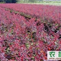 济南红叶小檗