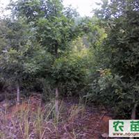 大量供应3-12公分枫香