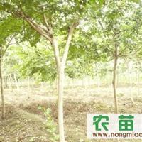 紫薇,皂角,枫杨,榉树。