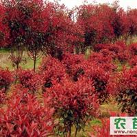 安徽供应百日红、红叶石楠、朴树、乌桕三角枫