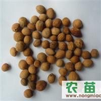 出售油松籽 樟子松籽 榆叶梅籽 华北落叶