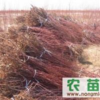 出售大量各种规格红柳,(又名柽柳)量大优惠