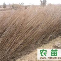 供应各种规格榆树苗