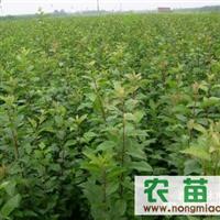 供应海棠苗,杜梨苗, 钙果苗,板栗苗
