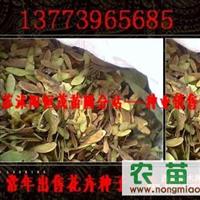 沙藏红豆杉种子,红枫种子,美人树种子,黄冠菊等种子