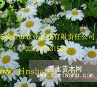 除虫菊种子 天然杀虫剂