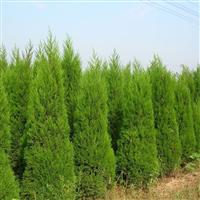 陕西供应绿化苗木 桧柏