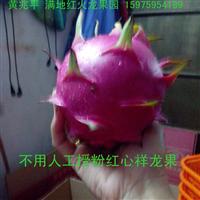 批发红肉火龙果/供应/销售/