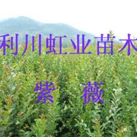 利川紫薇树紫薇小苗紫薇苗痒痒树