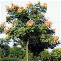 栾树报价:黄山栾树、千头椿、榔榆、金丝柳