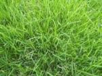 鄢陵金龙专业草坪早熟禾