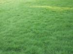 鄢陵金龙草坪基地草坪马呢啦