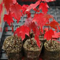 美国红枫|秋火焰红枫扦插小苗