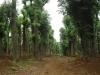 30公分香樟树30公分香樟树价格