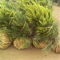 陕西华山松|陕西华山松价格|陕西绿化苗木