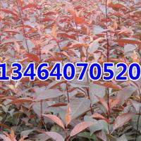 红叶李,紫叶稠李,五角枫,卫矛