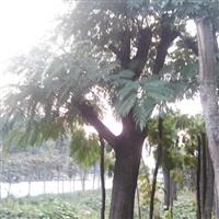 大规格合欢树哪里有卖合欢价格