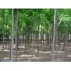 山西刺槐价格|乔灌木||供应信息|农苗网