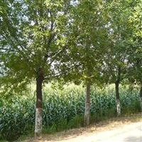 白蜡报价:对节白腊、杜英、重阳木、复叶槭