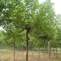 高大法桐树木有许多的修剪工作