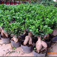 供应盆栽小榕树绿植盆栽榕树盆景办公室小型盆栽造型独特