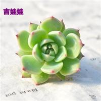 多肉植物防辐射黄丽元宝芦荟虹之玉.玉露.十二卷迷你盆栽